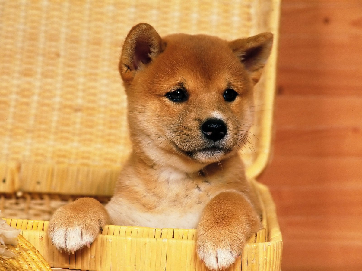 Shiba Inu's days in the sun may be over; here's why
