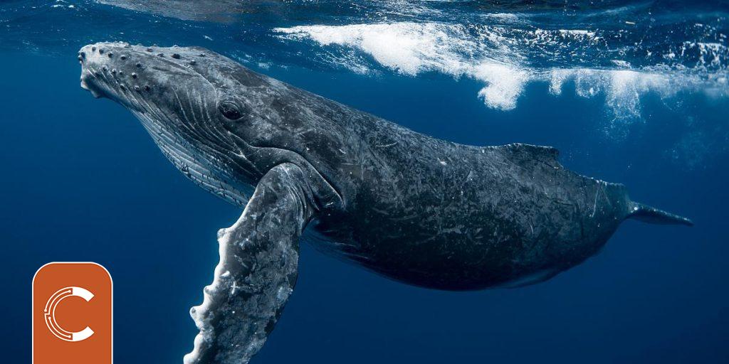 Balinaların Bitcoin'lerini (BTC) Sattığına Dair İlk İşaretler