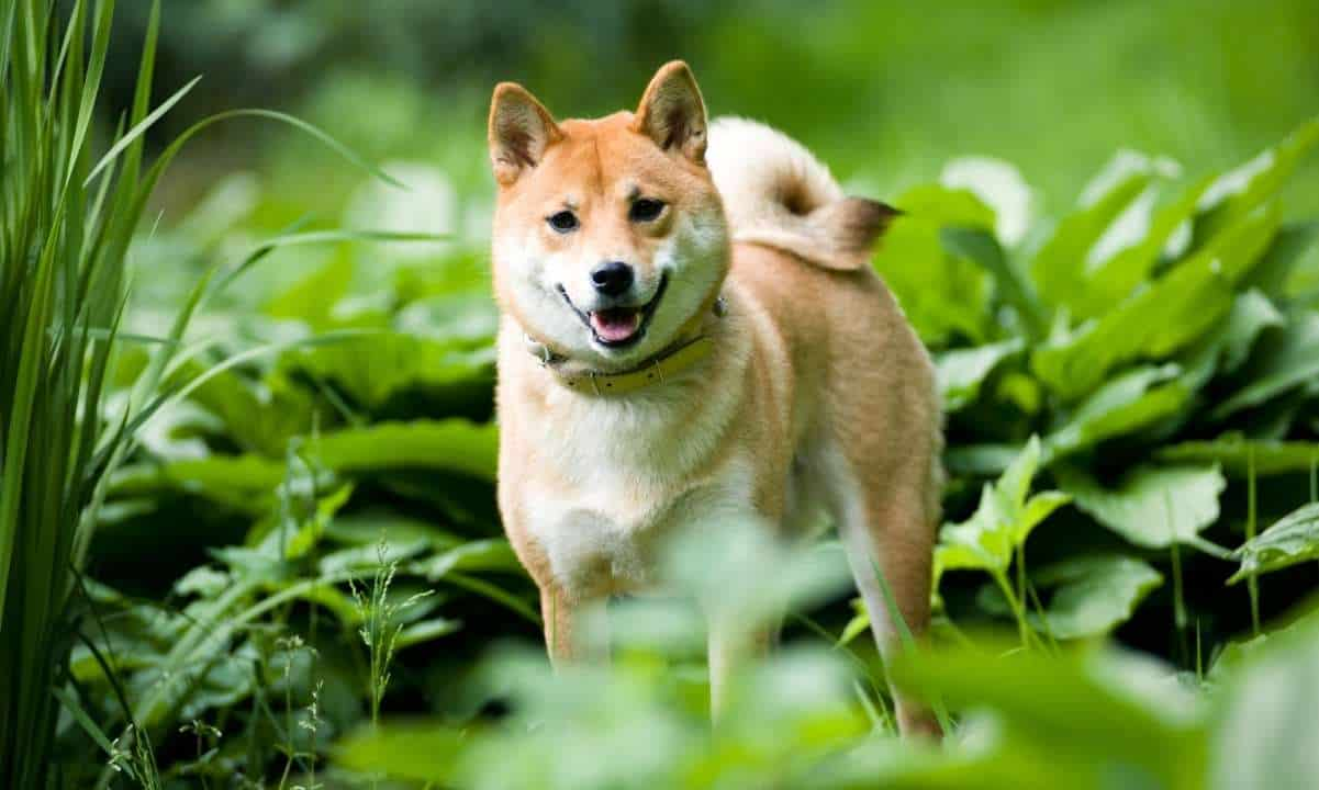 Shiba Inu's Wallet Addresses Surge by Over 9% in Two Weeks