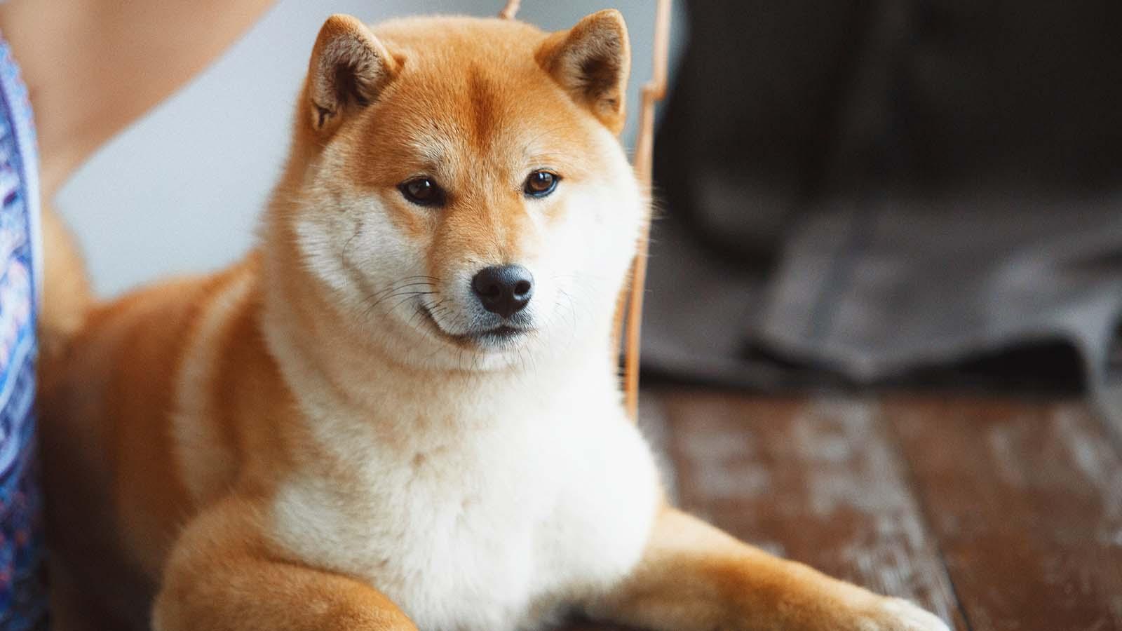DOGE Katili SHIB Durmuyor: Yeni Bir Şirketten Destek!