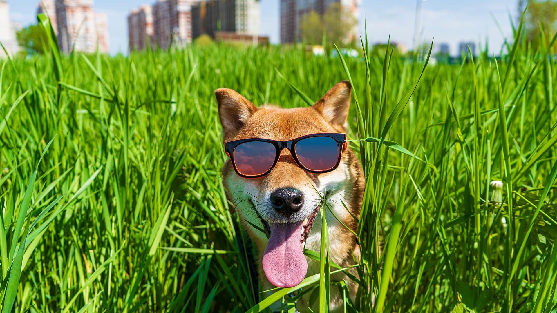 Shiba Inu ultrapassa Dogecoin em valor total de mercado